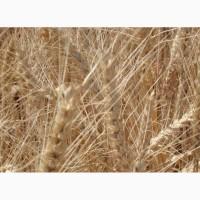 Озимая пшеница Ужинок элита и 1 репр