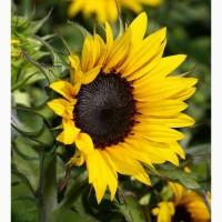 Продам семена подсолнечника под евролайтнинг Богдан, 112-118 дней