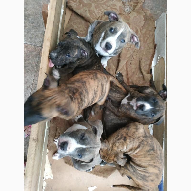 Фото 1/1. Продам щенків Стафоршидського тере#039;ра
