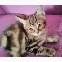 Продаются котята породы Курильский бобтеил 2000 тыс грн