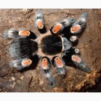Паук Brachypelma hamorii (ex Brachypelma smithi), самец