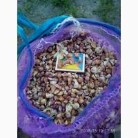 Продам чеснок на посадку сорта лучшие от 1 кг ВОЗДУШКА ЗУБОК ОДНОЗУБКА