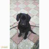 Продам щенка кокер спаниеля гладкошерстный