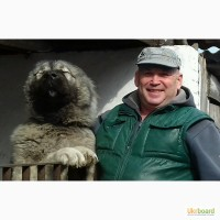 Продам кавказскую овчарку