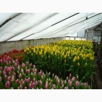 Цветы к 8 Марта тюльпан оптом