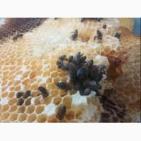 Продам бджоли. Монастерищенсткий р - н.Робітничі сім#039;я 25 - 35 кг меду