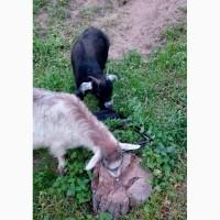 Продам гарних козенят від високоудійних кіз ! Недорого
