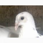 Подам элитных голубей породы одесские