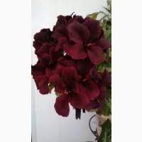 Продается удивительной красоты пеларгония