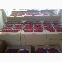 Продам свежые ягоды малины ремонтантных сортов Полка и Полана оптом от 500кг до 5т.в день