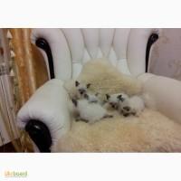 Сиамские домашние котята в новую семью