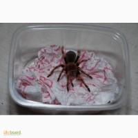 Павуки птахоїди різних видів