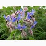Огірочник лікарський (Borago officinalis)