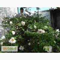 Семена древовидных пионов 4-х расцветок(смесь)
