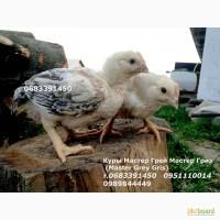 Курчата кури суточні Підрощені курчата Редбро Мастер курчата