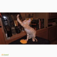 Продам котёнка Донского Сфинкса (велюр)