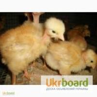 Продам суточных и подрощенных цыплят мясо-яичных Испанка(голошейка)