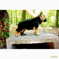 Длиношерстные щенки немецкой овчарки