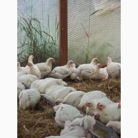Инкубационное яйцо. Инкубационные яйца кур бройлеров