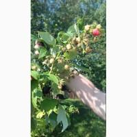 Саджанці малини (ремонантна)