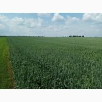 Насіння ярої пшениці Сімкода миронівська