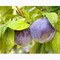 Продам 2-х летние саженцы Алычи и много других растений (опт от 1000 грн)