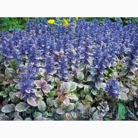 Продам корень Живучки и много других растений (опт от 1000 грн)