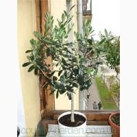 Продам Маслину в горшках, комнатное растение и много других растений (опт от 1000 грн)