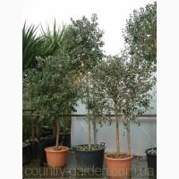 Продам растения Фейхоа (комнатное растение) и много других растений (опт от 1000 грн)