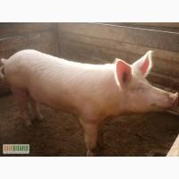 Продам свиней оптом
