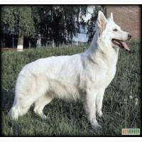 Швейцарская / Немецкая / Американо-Канадская Белая Овчарка