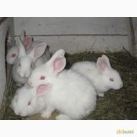 Продам кроликов породы Хила (Hyla)