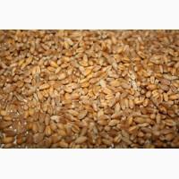 Посівний матеріал озимої пшениці (1 реп., еліта, с./еліта)