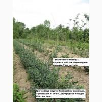 Живая изгородь с бирючины своими руками в г.Киев. Лиственный кустарник в частном питомнике
