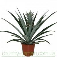 Продам саженцы Ананаса (комнатное растение) и много других растений (опт от 1000 грн)