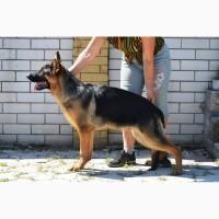 Шикарн подрощен щенок нем овчарки для выставок и разведения