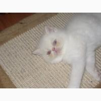 Продам котят экзотическая короткошерстная