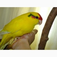 Какарики и другие мелкие породы попугаев