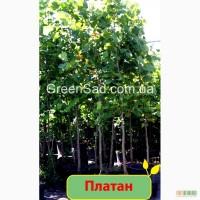 Платан. Купить платан в садовом интернет-магазине Greensad