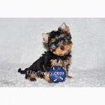 Эксклюзивный щенок йоркширского терьера, мини мальчик