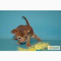 Абиссинские котята от питомника SHARAVI
