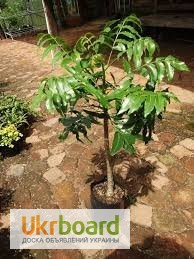 Фото 2/2. Комнатное дерево. Южноафриканская дикая слива. Семена