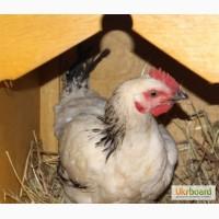 Цыплята серебритсый адлер