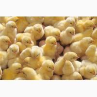 Курчата породи Редбро