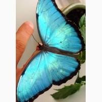 Продажа Живых тропических бабочек 30 видов и Голубых Морф