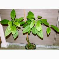 Продам авакадо (комнатное растение) и много других растений (опт от 1000 грн)
