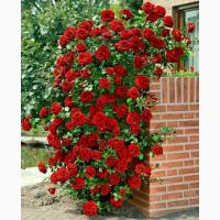 Продам Плетистую розу Norita (Норита)