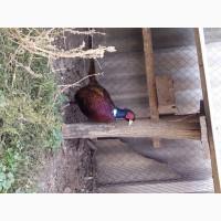 Продаж фазанів