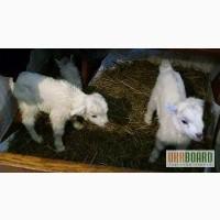 Срочно продам коз и козлов разного возраста дойные