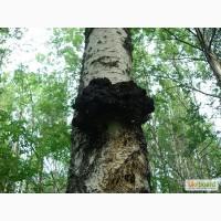 Чага (березовый гриб)